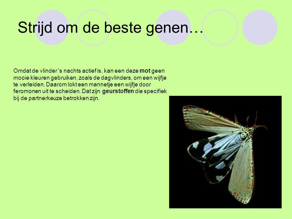 Strijd om de beste genen… Omdat de vlinder s nachts actief is, kan een deze mot geen mooie kleuren gebruiken, zoals de dagvlinders, om een wijfje te verleiden.
