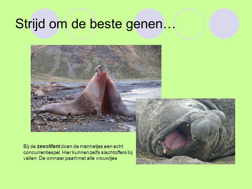 Strijd om de beste genen… Bij de zeeolifant doen de mannetjes een echt concurrentiespel.