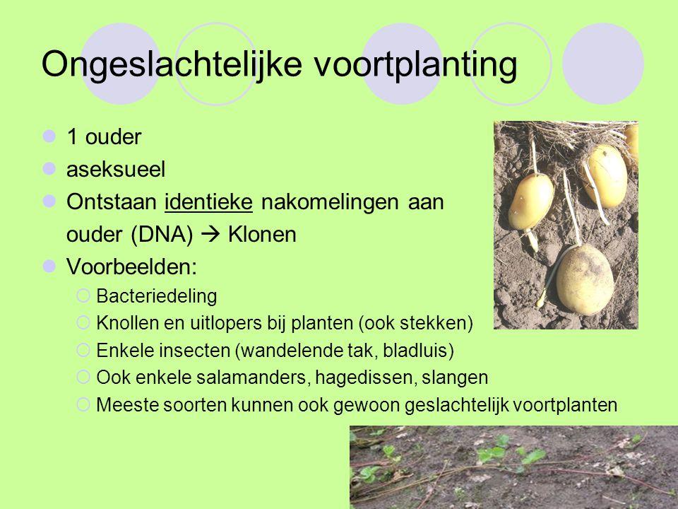 Ongeslachtelijke voortplanting 1 ouder aseksueel Ontstaan identieke nakomelingen aan ouder (DNA)  Klonen Voorbeelden:  Bacteriedeling  Knollen en uitlopers bij planten (ook stekken)  Enkele insecten (wandelende tak, bladluis)  Ook enkele salamanders, hagedissen, slangen  Meeste soorten kunnen ook gewoon geslachtelijk voortplanten