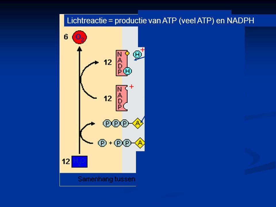 Fotosynthese ATP en NADPH ingezet voor productie van glucose Samenhang tussen licht- en donkerreacties.