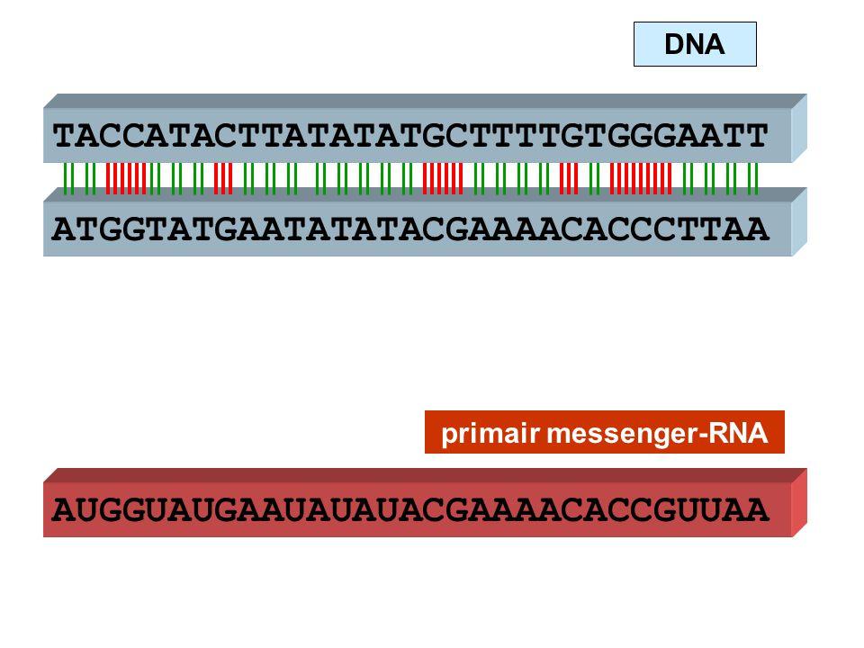 ATGGTATGAATATATACGAAAACACCCTTAA TACCATACTTATATATGCTTTTGTGGGAATT AUGGUAUGAAUAUAUACGAAAACACCGUUAA DNA primair messenger-RNA