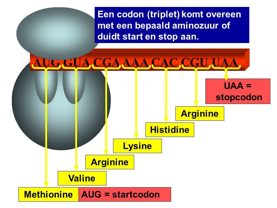 AUG GUA CGA AAA CAC CGU UAA AUG = startcodon UAA = stopcodon Valine Arginine Lysine Histidine Arginine Methionine Een codon (triplet) komt overeen met