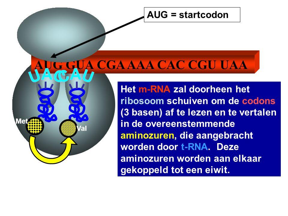 AUG GUA CGA AAA CAC CGU UAA AUG = startcodon Het m-RNA zal doorheen het ribosoom schuiven om de codons (3 basen) af te lezen en te vertalen in de over