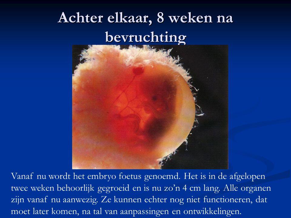 Achter elkaar, 8 weken na bevruchting Vanaf nu wordt het embryo foetus genoemd. Het is in de afgelopen twee weken behoorlijk gegroeid en is nu zo'n 4