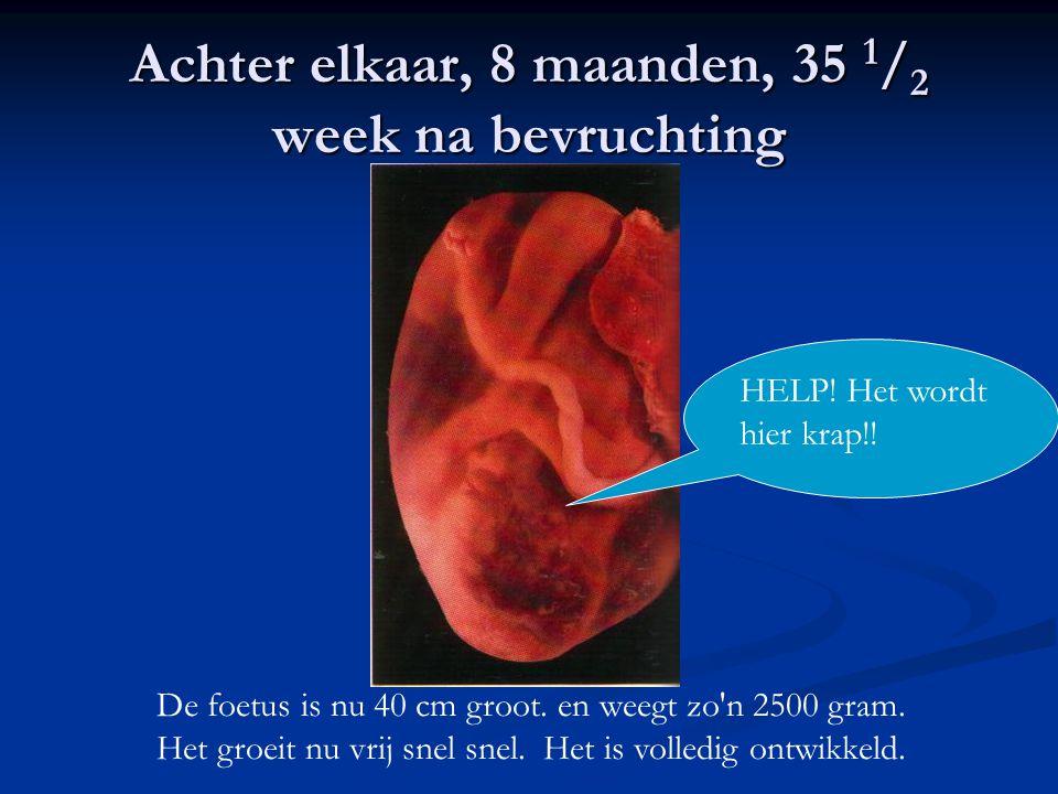Achter elkaar, 8 maanden, 35 1 / 2 week na bevruchting De foetus is nu 40 cm groot. en weegt zo'n 2500 gram. Het groeit nu vrij snel snel. Het is voll