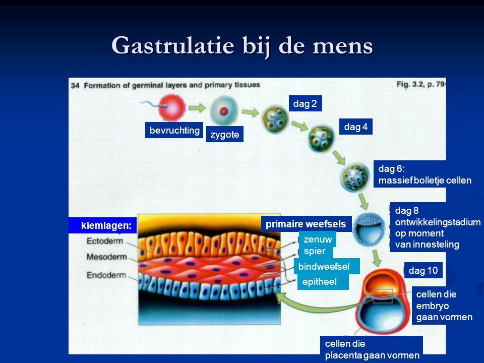Gastrulatie bij de mens bevruchting zygote dag 2 dag 4 dag 6: massief bolletje cellen dag 8 ontwikkelingstadium op moment van innesteling dag 10 celle
