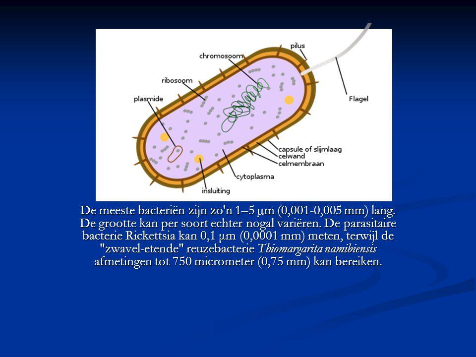 De meeste bacteriën zijn zo'n 1–5 µm (0,001-0,005 mm) lang. De grootte kan per soort echter nogal variëren. De parasitaire bacterie Rickettsia kan 0,1