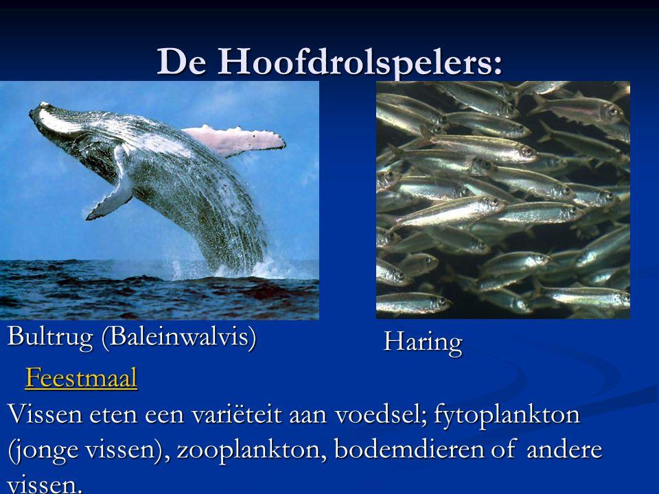 De Hoofdrolspelers: Bultrug (Baleinwalvis) Haring Feestmaal Vissen eten een variëteit aan voedsel; fytoplankton (jonge vissen), zooplankton, bodemdier