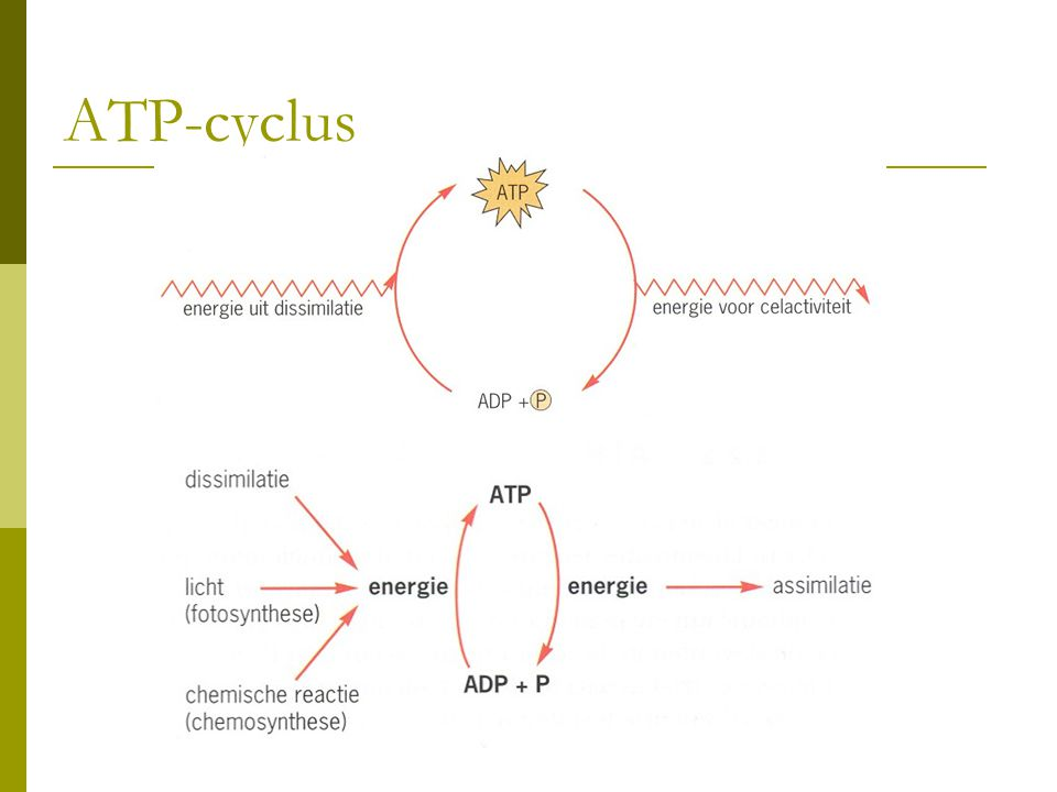 ATP-cyclus