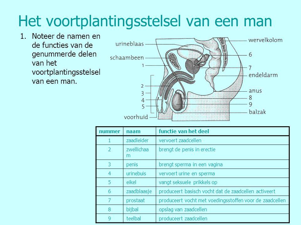 Het voortplantingsstelsel van een man 1.Noteer de namen en de functies van de genummerde delen van het voortplantingsstelsel van een man. nummernaamfu