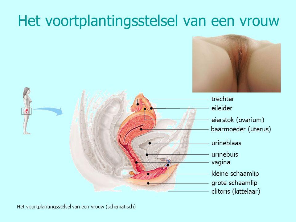 Het voortplantingsstelsel van een vrouw baarmoeder (uterus) eileider eierstok (ovarium) trechter urineblaas urinebuis vagina kleine schaamlip grote sc