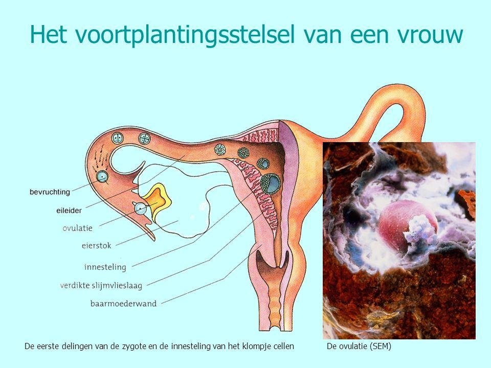 Het voortplantingsstelsel van een vrouw De eerste delingen van de zygote en de innesteling van het klompje cellen De ovulatie (SEM)