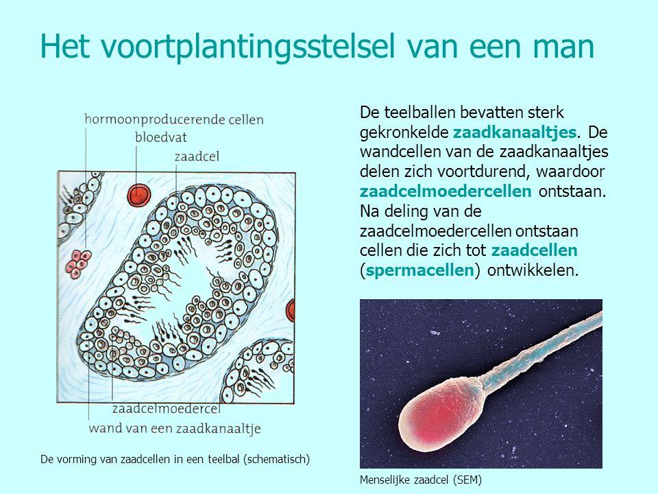 Het voortplantingsstelsel van een man De teelballen bevatten sterk gekronkelde zaadkanaaltjes. De wandcellen van de zaadkanaaltjes delen zich voortdur