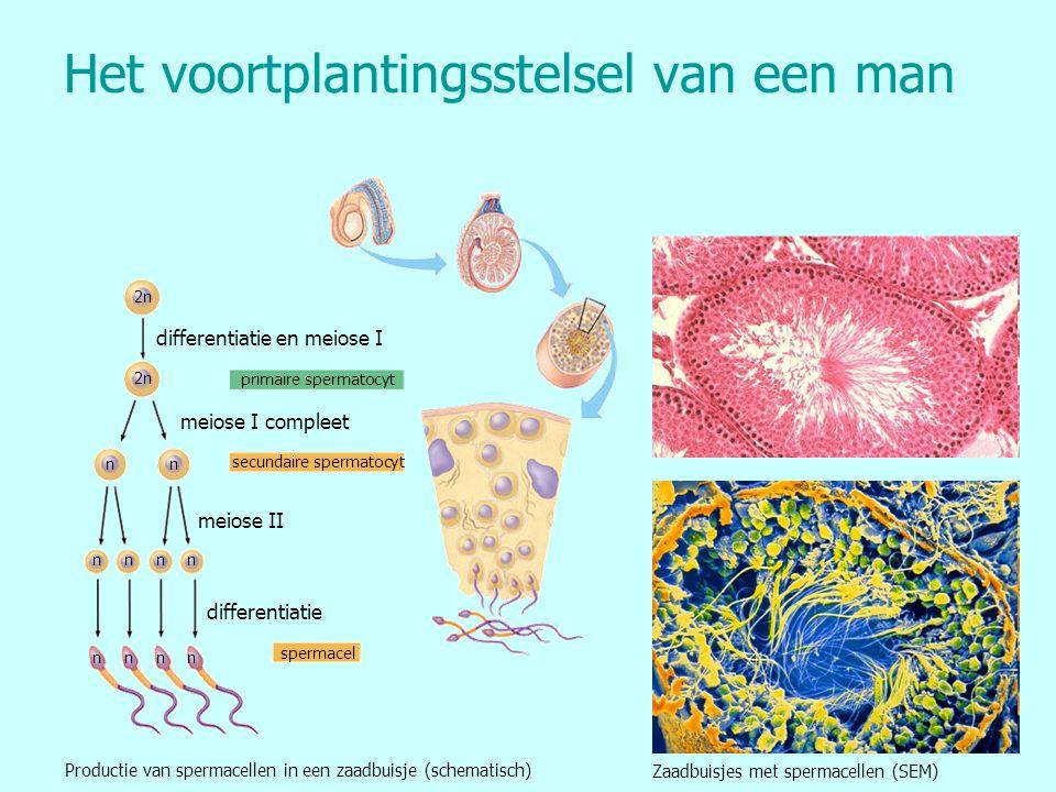 Het voortplantingsstelsel van een man primaire spermatocyt secundaire spermatocyt spermacel differentiatie en meiose I meiose I compleet meiose II dif