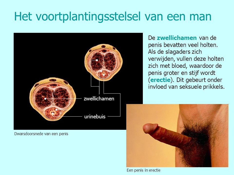 Het voortplantingsstelsel van een man zwellichamen urinebuis Dwarsdoorsnede van een penis Een penis in erectie De zwellichamen van de penis bevatten v