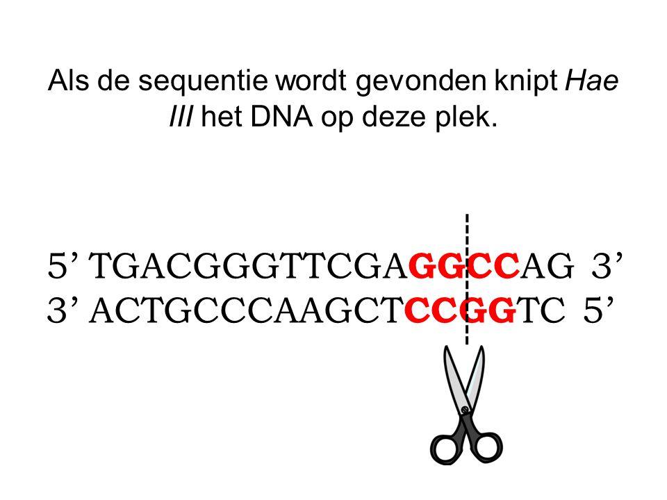 Als de sequentie wordt gevonden knipt Hae III het DNA op deze plek. 5' TGACGGGTTCGA GGCC AG 3' 3' ACTGCCCAAGCT CCGG TC 5'