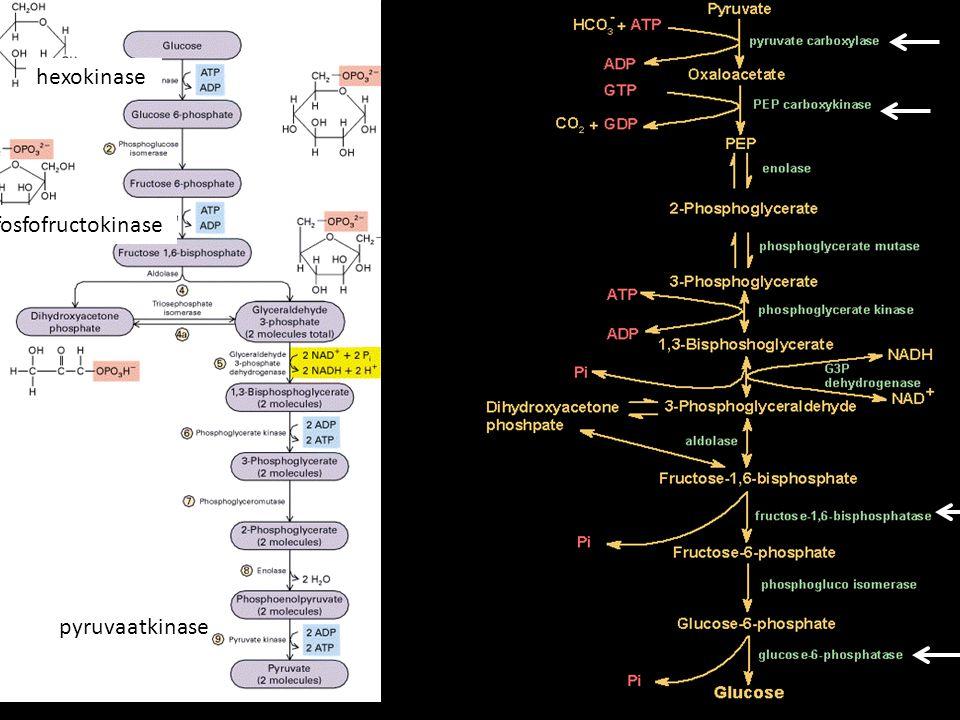 pyruvaatkinase fosfofructokinase hexokinase