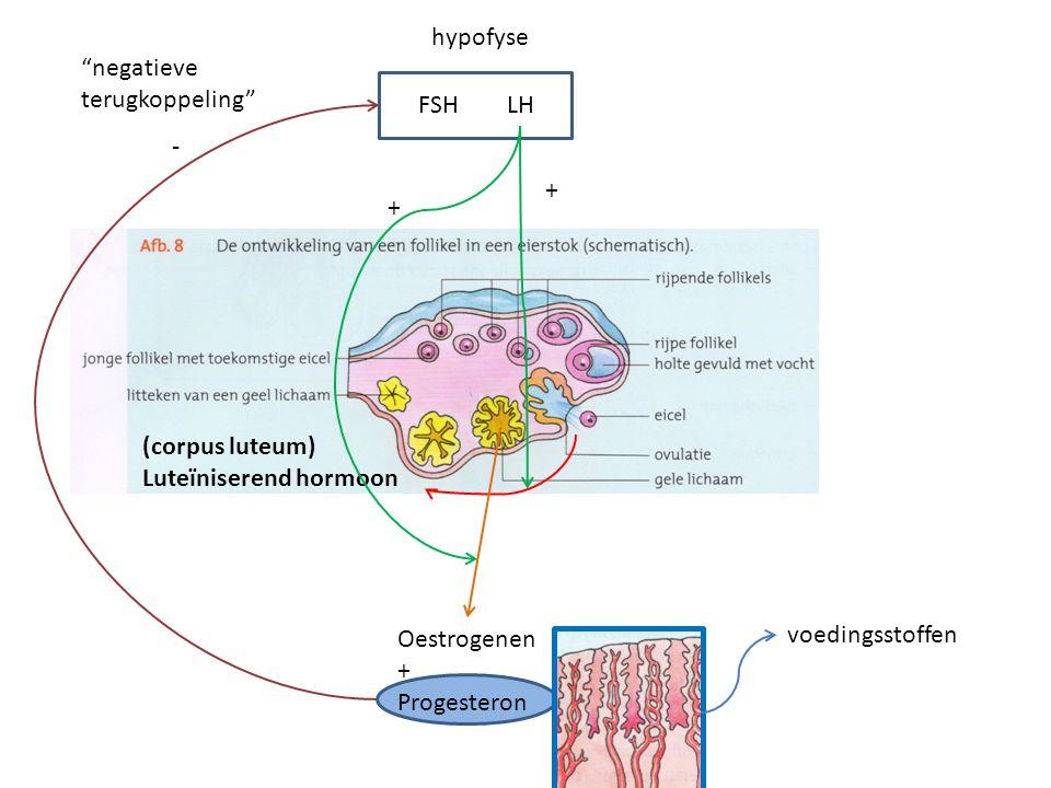hypofyse FSHLH (corpus luteum) Luteïniserend hormoon voedingsstoffen - negatieve terugkoppeling Gele lichaam sterft door gebrek aan LH (14 dagen na ovulatie) Oestrogenen + Progesteron + + Menstruatie