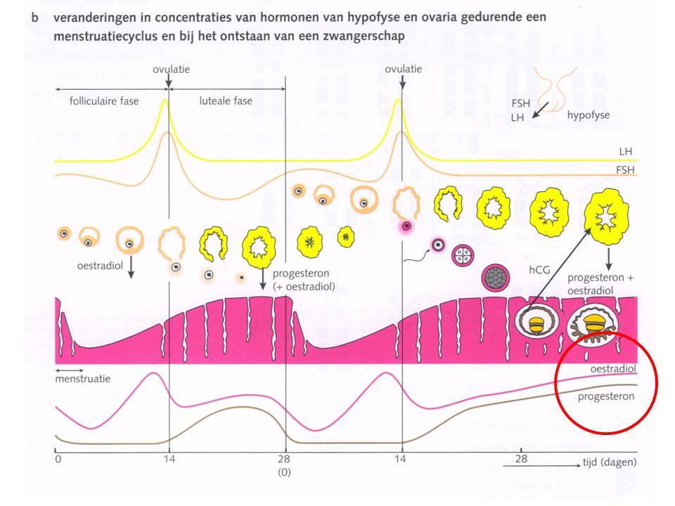 Hormonale regeling gevorderde zwangerschap Na ongeveer drie maanden neemt de placenta de hormoonproductie over van het gele lichaam (progesteron en oestrogenen) Aan het einde van de zwangerschap neemt deze hormoonproductie snel af  Enkele hypofysehormonen worden niet meer geremd: – prolactine: stimuleert lactatie (melkproductie melkklieren) – oxytocine: weeën, samentrekking spiertjes melkklieren Secretie of excretie?