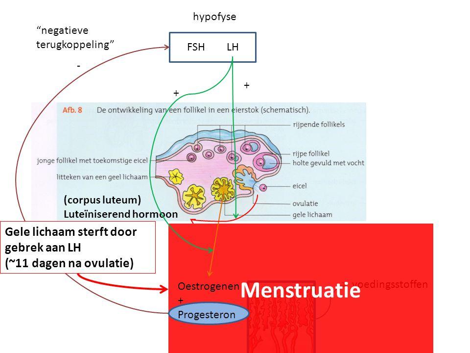 hypofyse FSHLH (corpus luteum) Luteïniserend hormoon voedingsstoffen - negatieve terugkoppeling Gele lichaam sterft door gebrek aan LH (~11 dagen na ovulatie) Menstruatie Oestrogenen + Progesteron + +