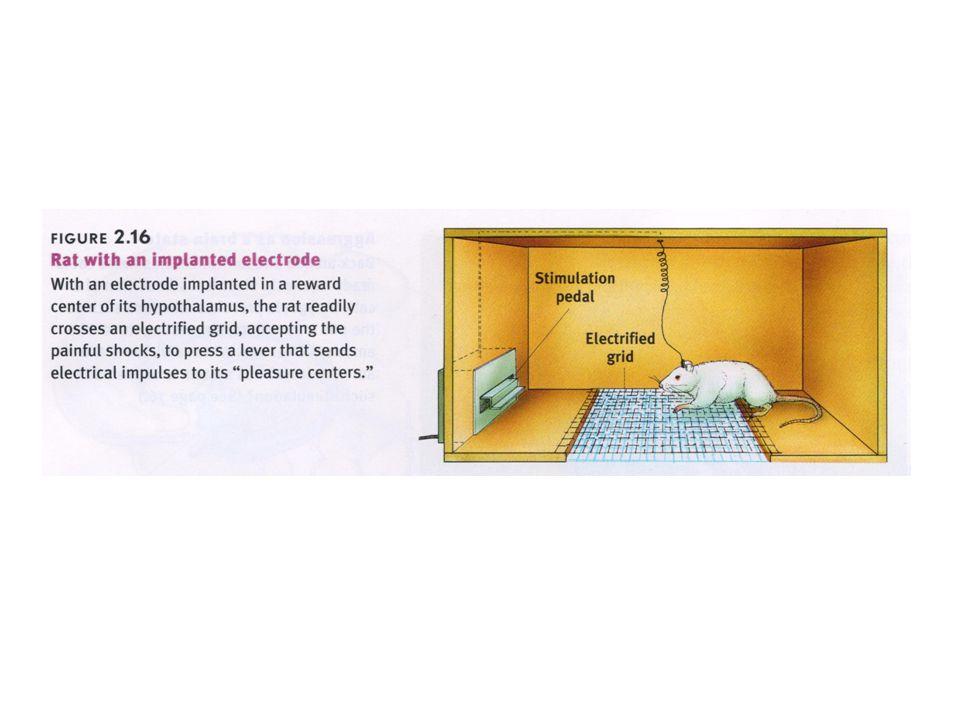 hypofyse FSHLH (corpus luteum) Luteïniserend hormoon + Oestrogenen + Progesteron voedingsstoffen + - negatieve terugkoppeling