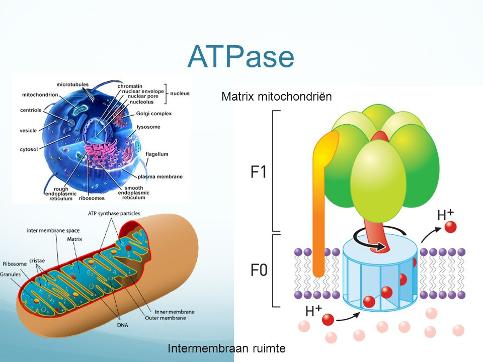 ATPase Matrix mitochondriën Intermembraan ruimte