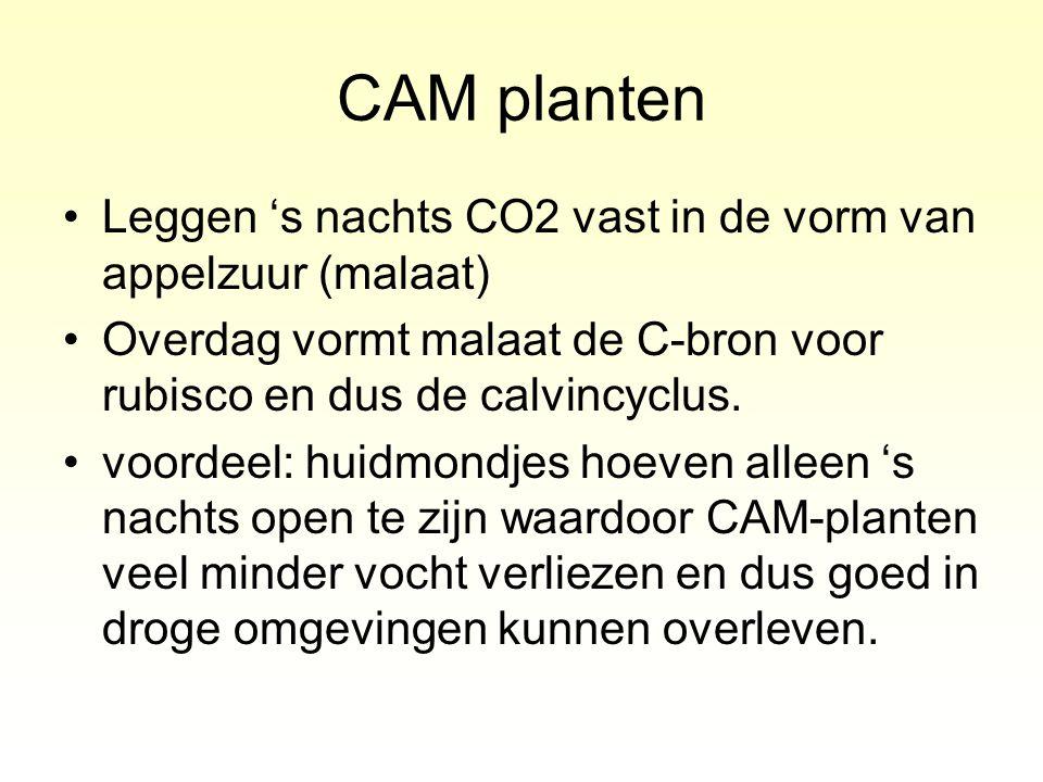 CAM planten Leggen 's nachts CO2 vast in de vorm van appelzuur (malaat) Overdag vormt malaat de C-bron voor rubisco en dus de calvincyclus. voordeel: