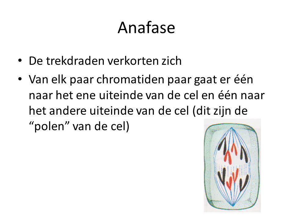 Anafase De trekdraden verkorten zich Van elk paar chromatiden paar gaat er één naar het ene uiteinde van de cel en één naar het andere uiteinde van de