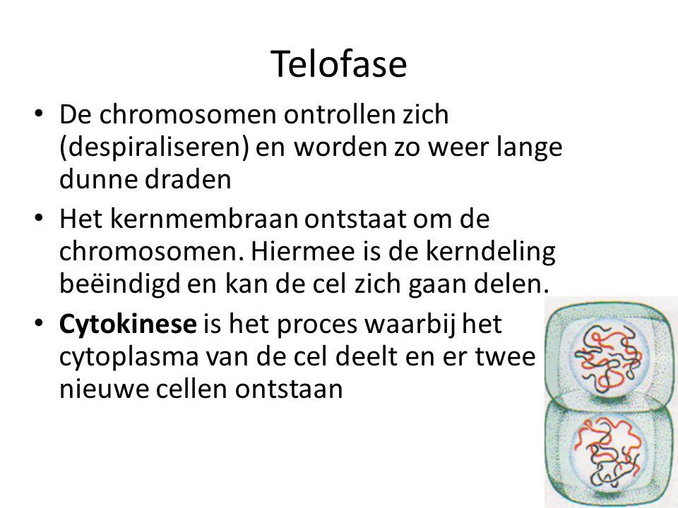 Telofase De chromosomen ontrollen zich (despiraliseren) en worden zo weer lange dunne draden Het kernmembraan ontstaat om de chromosomen. Hiermee is d