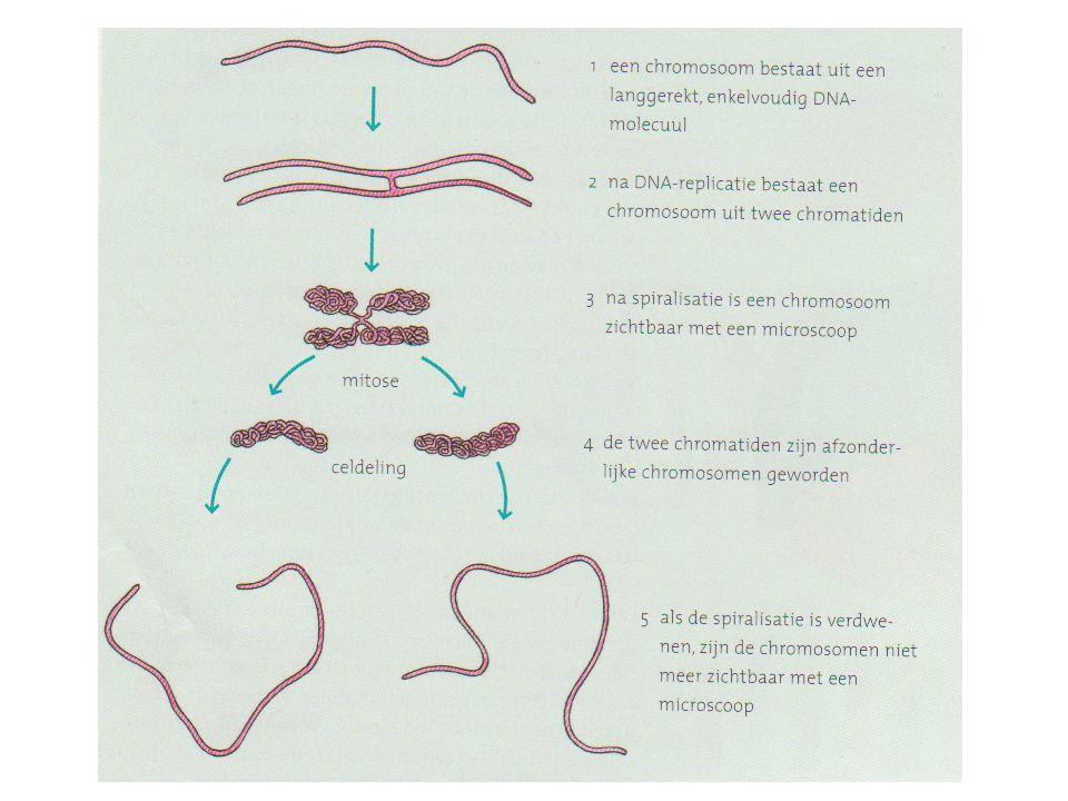 DNA-replicatie De twee chromatiden van een chromosoom bevatten dezelfde genen Tijdens mitose gaan twee chromatiden van chromosoom uit elkaar Elke dochtercel ontvangt een van beide chromatiden Dus bevatten ze dezelfde genen als de moedercel!