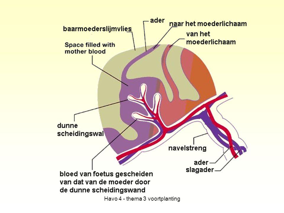 Verdere ontwikkeling Na ongeveer 2 maanden alle weefsels gevormd en organen aangelegd.