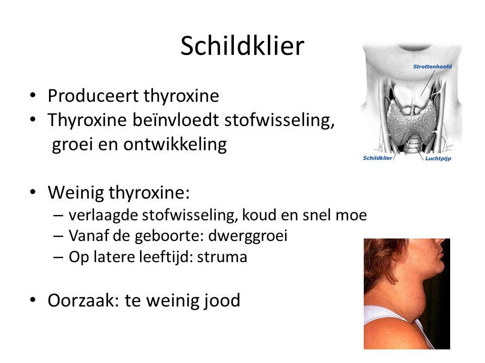 Schildklier Produceert thyroxine Thyroxine beïnvloedt stofwisseling, groei en ontwikkeling Weinig thyroxine: – verlaagde stofwisseling, koud en snel m