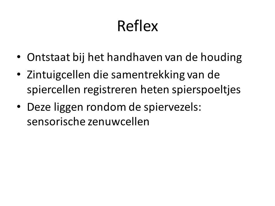 Reflex Ontstaat bij het handhaven van de houding Zintuigcellen die samentrekking van de spiercellen registreren heten spierspoeltjes Deze liggen rondo