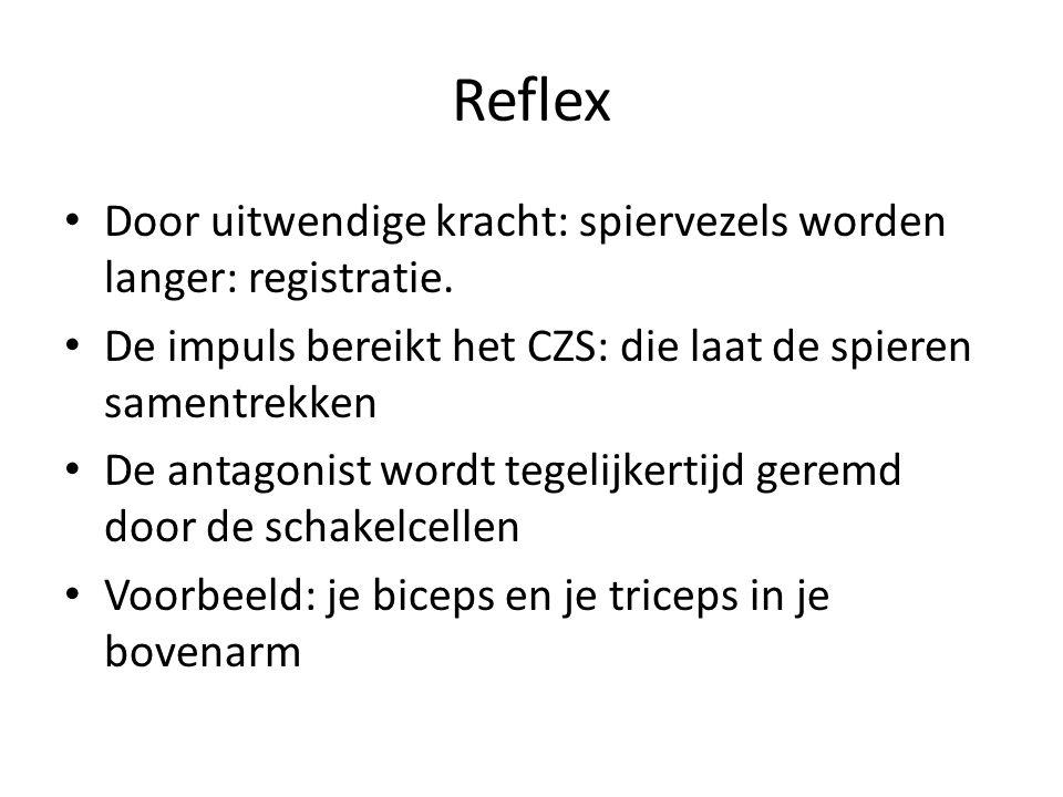 Reflex Door uitwendige kracht: spiervezels worden langer: registratie. De impuls bereikt het CZS: die laat de spieren samentrekken De antagonist wordt