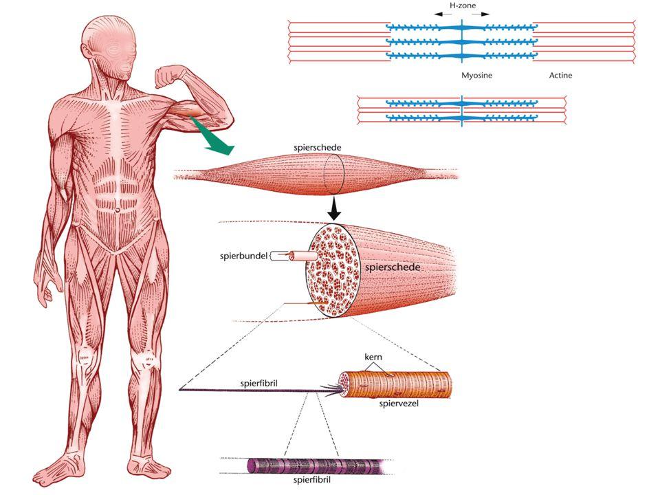 Spiervezels Bestaan uit spierfibrillen (dwarse banden) Deze bestaan uit myosine en actine filamenten De actine filamenten zijn verankerd in een dun vlies: de Z-lijn Tussen twee Z-lijnen zit het zogenaamde sacromeer