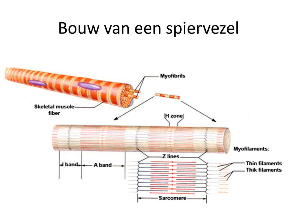 Samentrekken van de spier Elke spiervezel in contact met een motorische axon Dit mondt uit in een motorisch eindplaatje Hier worden neurotransmitters vrijgemaakt Hoe meer spiervezels worden getriggerd (dus ook hoe meer motorische eenheden), hoe krachtiger de samentrekking