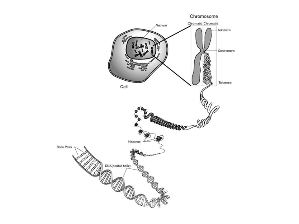 Genen Een chromosoom bevat heel veel verschillende genen Eén gen bestaat uit honderden nucleotiden 1 gen 1 eigenschap – Volgorde van nucleotiden – Aantal nucleotiden TACCATACTTATATATGCTTTTGTGGGAATT