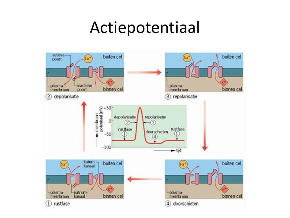 Impulsgeleiding Wordt versneld door myelineschede Kan plaatsvinden van: – Zenuwcel naar zenuwcel via neurotransmitters in synapsen – Zenuwcel naar spiercel via neurotransmitters in synapsen