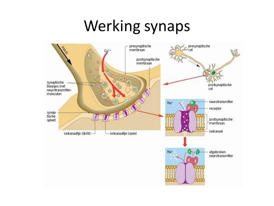 Impuls komt aan in synaps: Ca2+ stroomt presynaptische cel binnen Blaasjes met neurotransmitter diffunderen naar presynaptisch membraan Via exocytose uitgescheiden in synapsspleet Neurotransmitters diffunderen naar receptoren in postsynaptisch membraan
