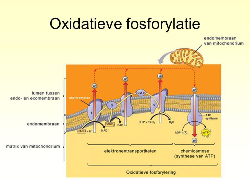 Oxidatieve fosforylatie