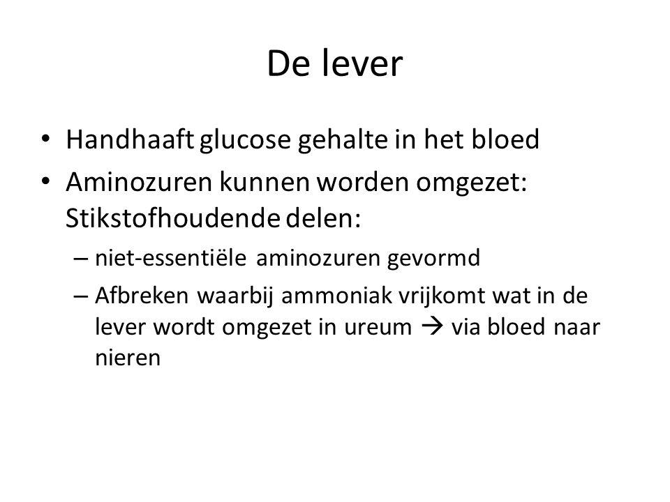 De lever Handhaaft glucose gehalte in het bloed Aminozuren kunnen worden omgezet: Stikstofhoudende delen: – niet-essentiële aminozuren gevormd – Afbre