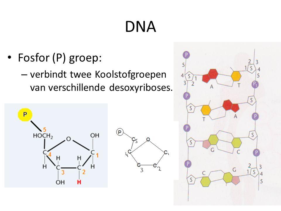 DNA Fosfor (P) groep: – verbindt twee Koolstofgroepen van verschillende desoxyriboses.