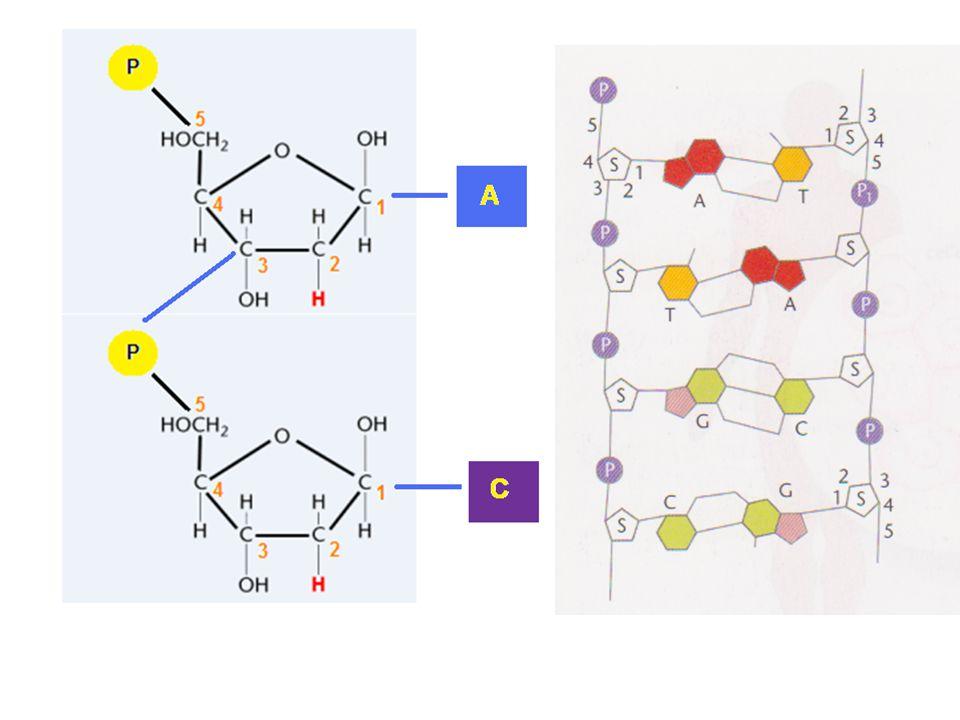 -Aan C5 atoom: 5'-einde Hieraan zit een fosfaatgroep (P) -Aan C-3 atoom: 3'einde Hieraan zit een OH-groep
