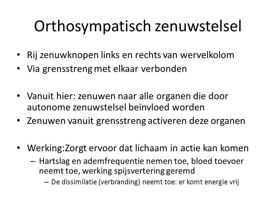 Orthosympatisch zenuwstelsel Rij zenuwknopen links en rechts van wervelkolom Via grensstreng met elkaar verbonden Vanuit hier: zenuwen naar alle organ