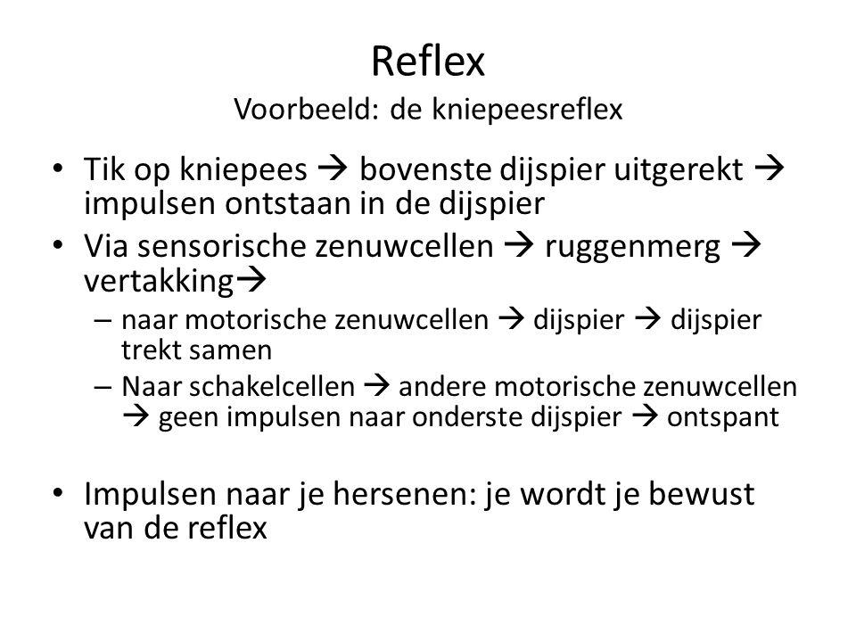 Reflex Voorbeeld: de kniepeesreflex Tik op kniepees  bovenste dijspier uitgerekt  impulsen ontstaan in de dijspier Via sensorische zenuwcellen  rug