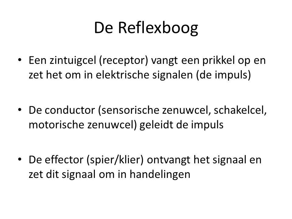 De Reflexboog Een zintuigcel (receptor) vangt een prikkel op en zet het om in elektrische signalen (de impuls) De conductor (sensorische zenuwcel, sch