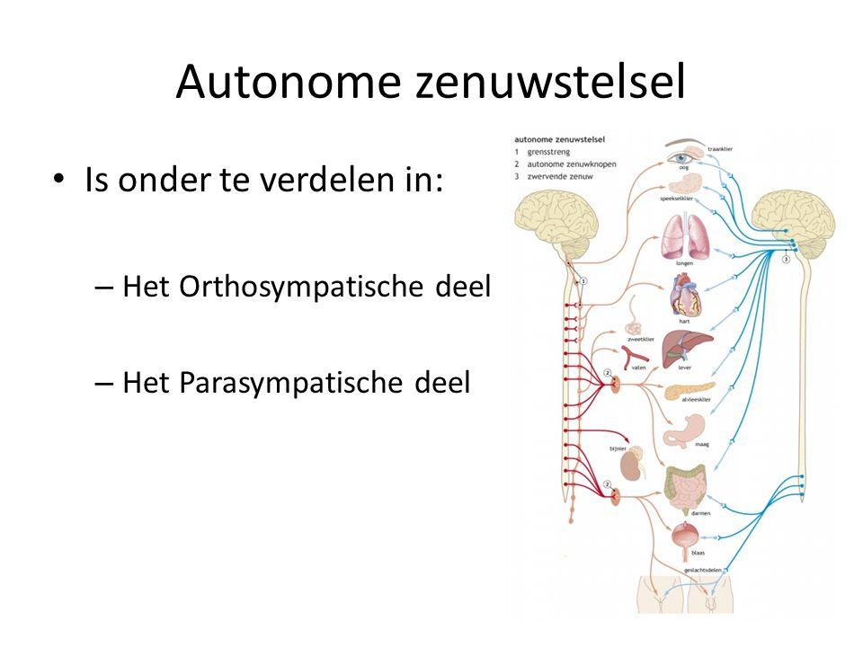 Orthosympatisch zenuwstelsel Rij zenuwknopen links en rechts van wervelkolom Via grensstreng met elkaar verbonden Vanuit hier: zenuwen naar alle organen die door autonome zenuwstelsel beïnvloed worden Zenuwen vanuit grensstreng activeren deze organen Werking:Zorgt ervoor dat lichaam in actie kan komen – Hartslag en ademfrequentie nemen toe, bloed toevoer neemt toe, werking spijsvertering geremd – De dissimilatie (verbranding) neemt toe: er komt energie vrij