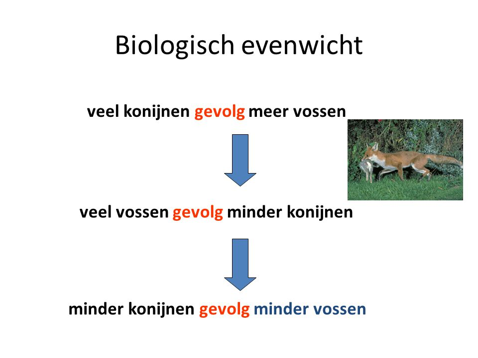 veel konijnen gevolg meer vossen veel vossen gevolg minder konijnen minder konijnen gevolg minder vossen Biologisch evenwicht