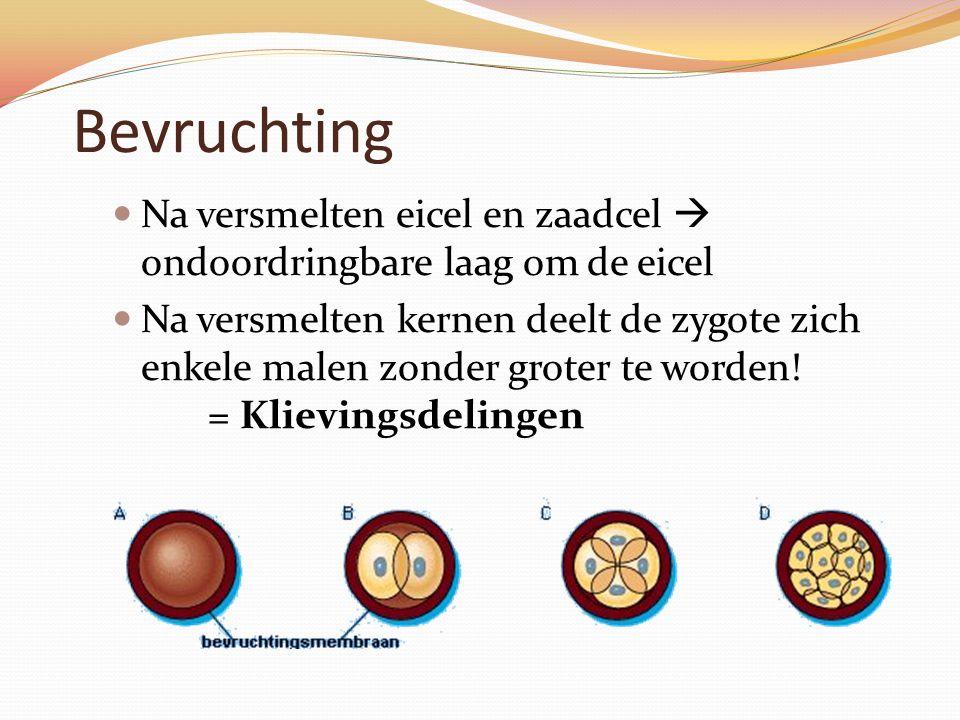 Bevruchting Na versmelten eicel en zaadcel  ondoordringbare laag om de eicel Na versmelten kernen deelt de zygote zich enkele malen zonder groter te