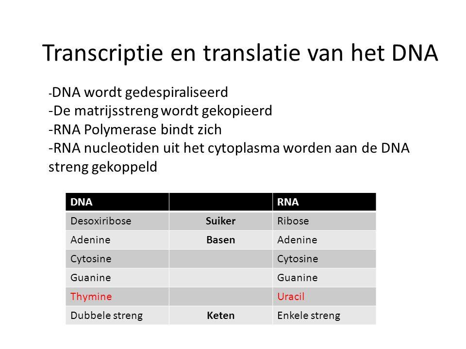 Transcriptie en translatie van het DNA - DNA wordt gedespiraliseerd -De matrijsstreng wordt gekopieerd -RNA Polymerase bindt zich -RNA nucleotiden uit